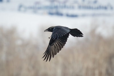 american crow th 1