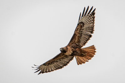 red tailed hawk th 1