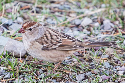 white-crowned sparrow th 1