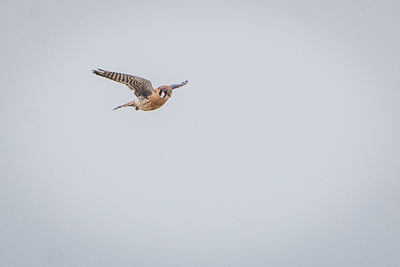 american kestrel th 1
