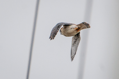 american kestrel th 2