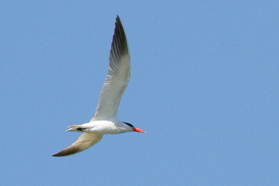 caspian tern th 1