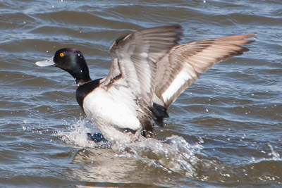 lesser scaup th 1