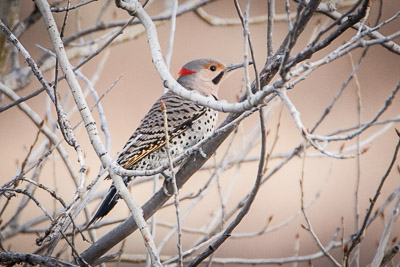 northern flicker th 1