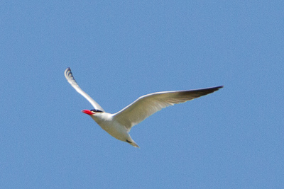 caspian tern th 2