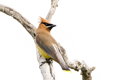 cedar waxwing th 1