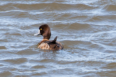 lesser scaup th 2