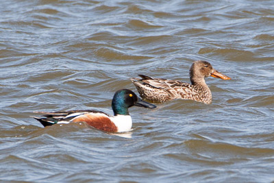 northern shoveler th 2