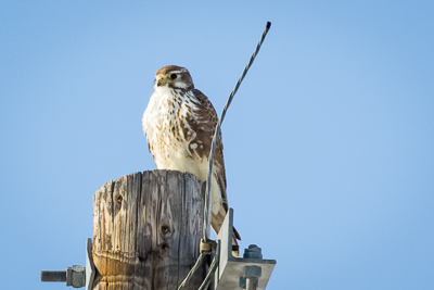 prairie falcon th 1