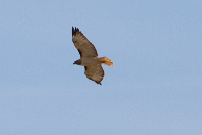red tailed hawk th 2