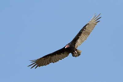 turkey vulture th 2