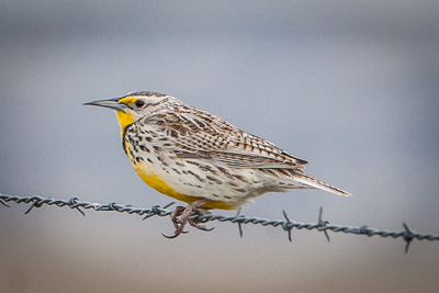 western meadowlark th 1