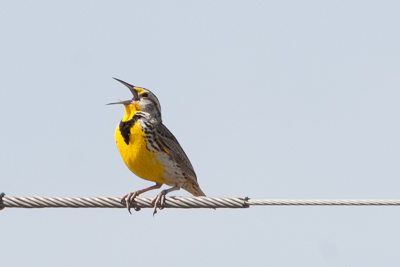 western meadowlark th 2
