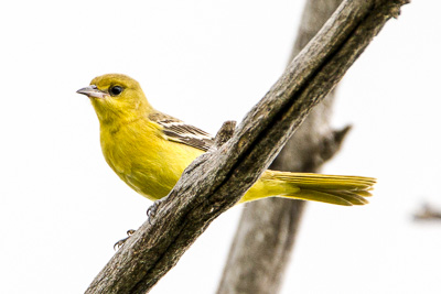 western tanager th 1