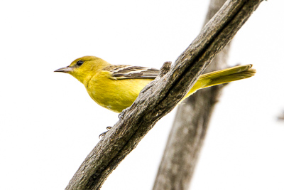western tanager th 2