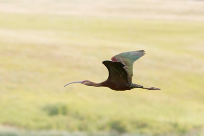 white-faced ibis th 1