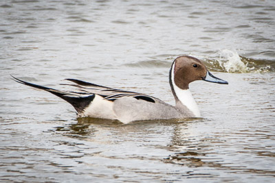 northern pintail th 1