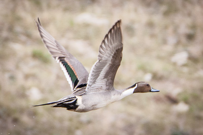 northern pintail th 2